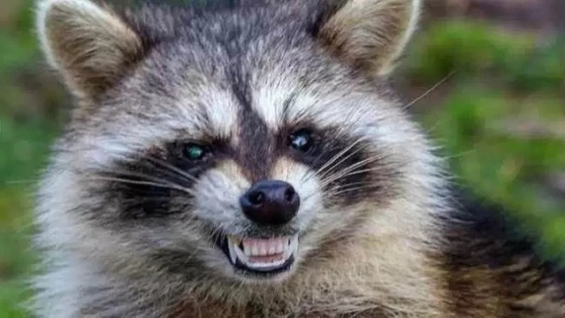 Raccoon climbing St. Paul office tower becomes internet hero (heroine?)