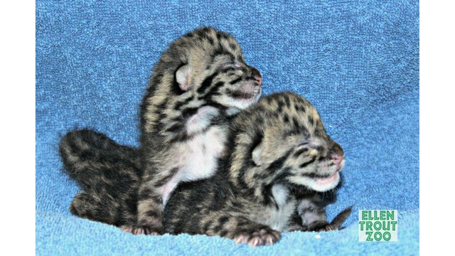 lufkin zoo announces birth of 2 endangered leopard cubs